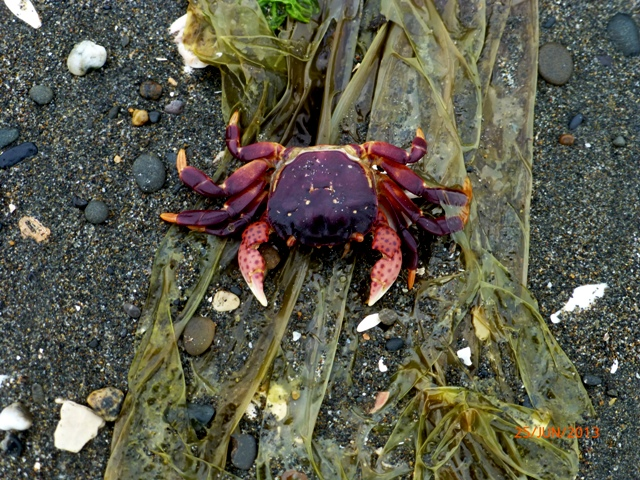 Crab at Westhaven Beach