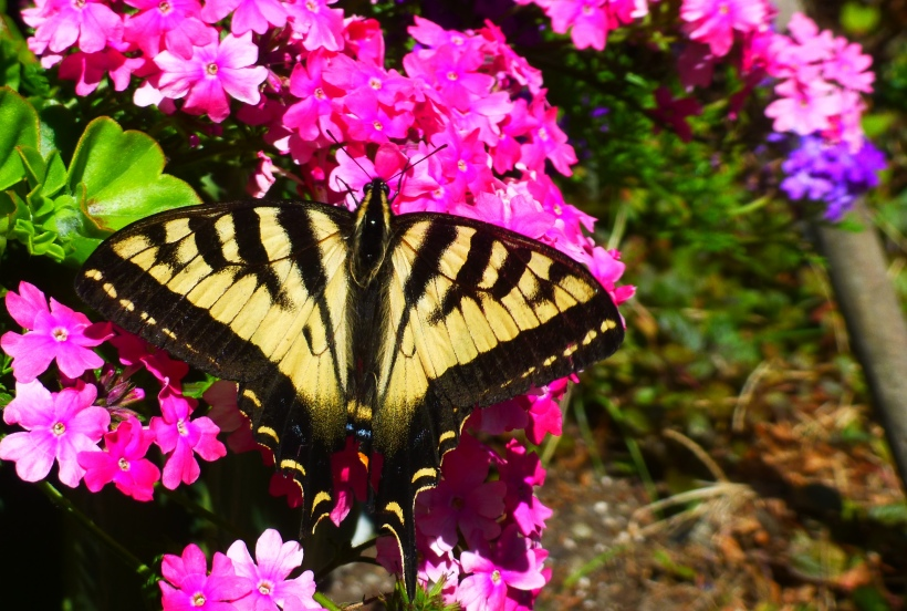 Butterfly on Flower in my friend's garden. Phall Photo 2013