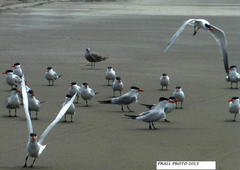 CASPIAN TERNS & A LOST SEAGULL Ready-Set-Take Off!!