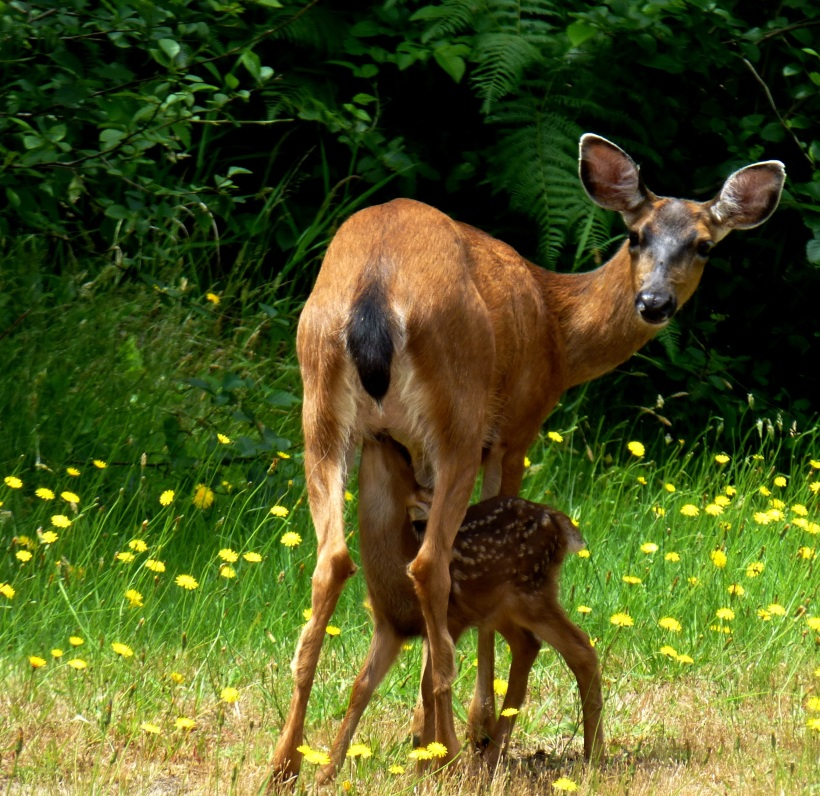 Breakfast for fawn. Across from my driveway. PHALL PHOTO 2013