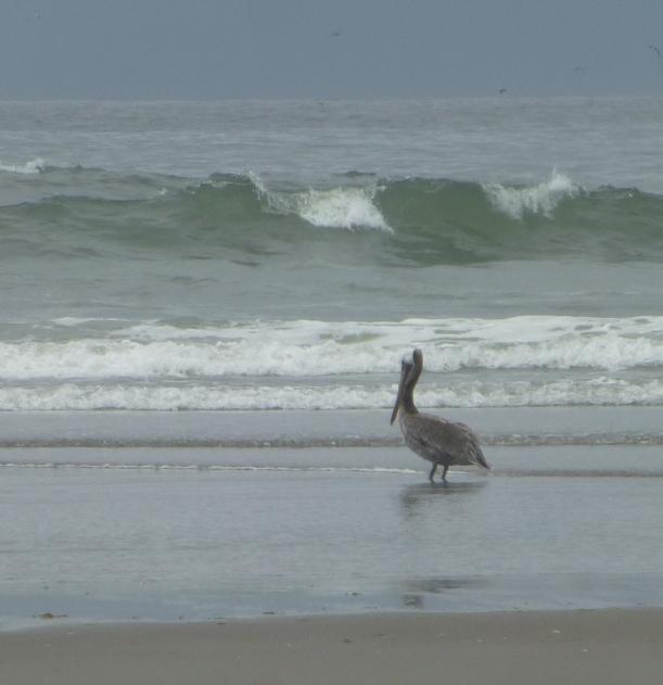 Pelican Waves PHALL PHOTO 2013