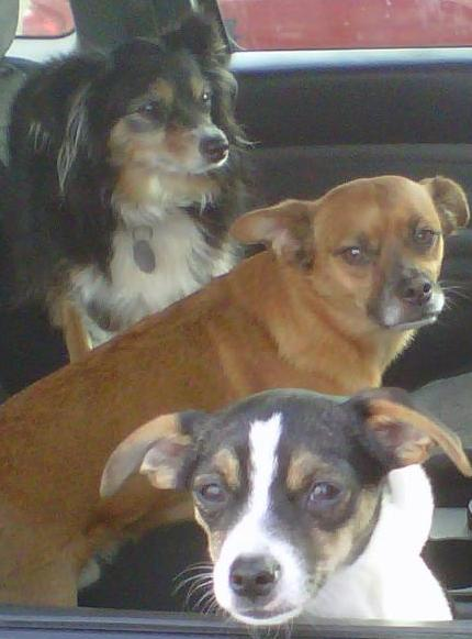 My dog pals; Gertrude, in back, the late :>(Tanner, and Roo in front. Another photo with no relation to my post :>)