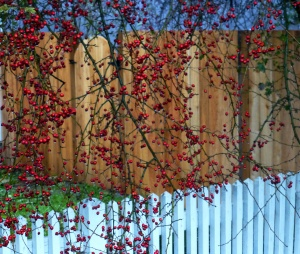 White Picket Red Berry Gate Wood Village, OR PHALL PHOTO 2013