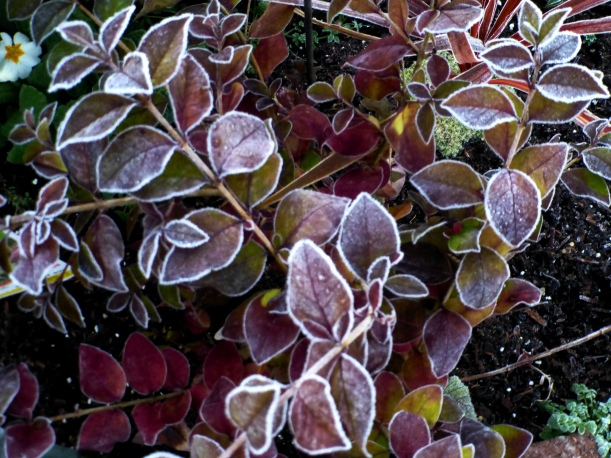 Frosty garden colors and the end of the primrose. PHALL PHOTO 2013