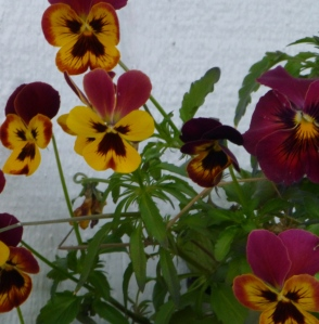 Pansies, and the last color before the hard frost hits. PHALL PHOTO 2013