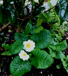 Remember all those plants I transplanted from my old garden? This primrose has decided to bloom early for me. Made my heart happy. PHALL PHOTO 2013