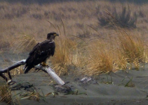 Totally unrelated to this post. saw this young bald eagle on the beach this afternoon. The 2 adults that were with him exited, stage left. PHALL PHOTO 2013