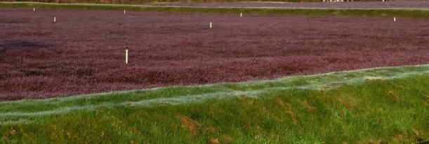 Cranberry bogs, Grayland, WA PHALL PHOTO 2013