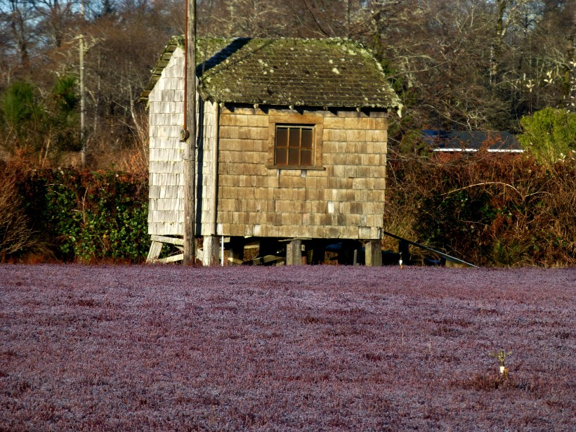 Frosted cranberry bog shack. PHALL PHOTO 2013