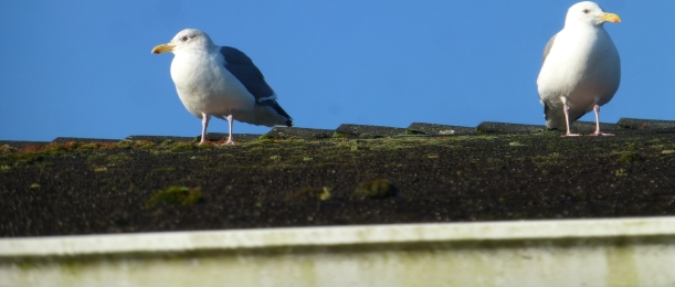 Gulls at the P.O.
