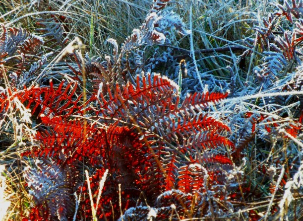 Dead fern made red by the sunlight hitting it. Frosted everything:>) PHALL PHOTO 2013
