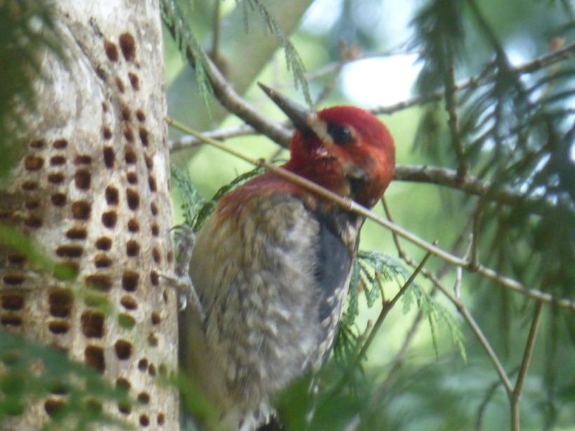 A woodpecker neighbor in Hidden Valley, Packwood, WA PHALL PHOTO 2014