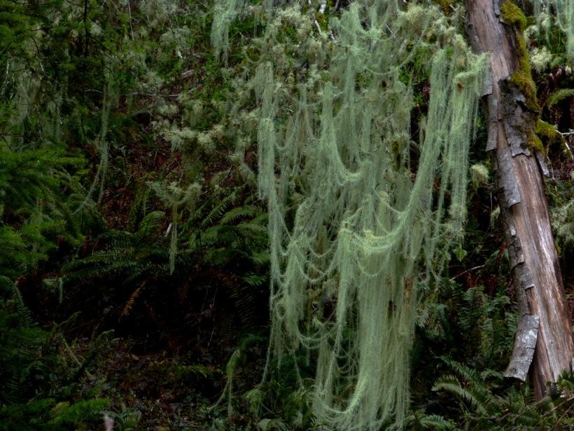 Moss draped on trees along Hwy 508 outside of Morton, WA. PHALL PHOTO 2014