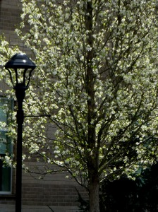 Flowering tree at Centralia College, where Kevin's daughter works and my daughter lives next to.  PHALL PHOTO 2014