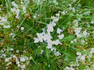 Weed after hail storm. PHALL PHOTO 2014