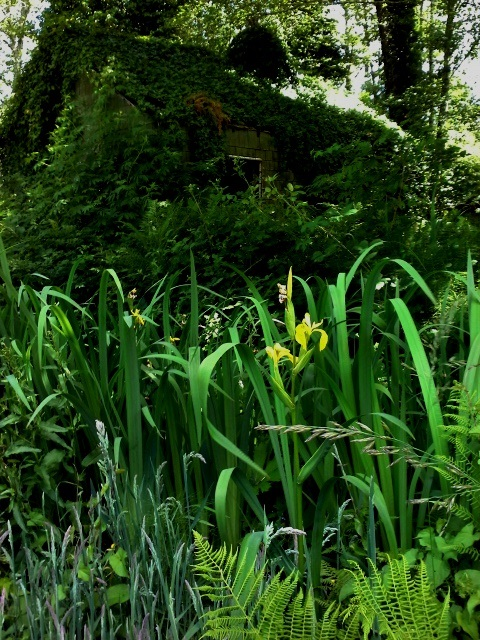 Wild Yellow Flag Iris with ivy-covered ghost cabin in background. Phall Photo 2014